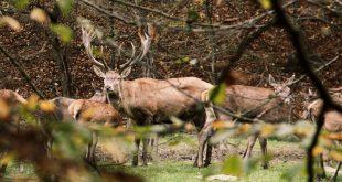 red-deer-hunting-slovakia-shootingpress